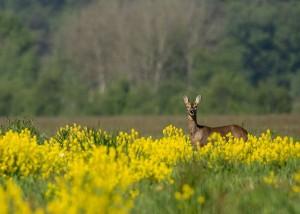 Een ree in het gebied (foto: Clifton Buitink)