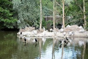 Pelikanen in Blijdorp