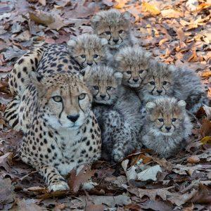 Een Cheetah zesling die in 2016 werd geboren (foto: Theo Kruse)