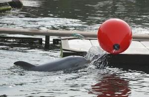 Dolfijn in de grote lagune